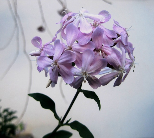 mydlice květ