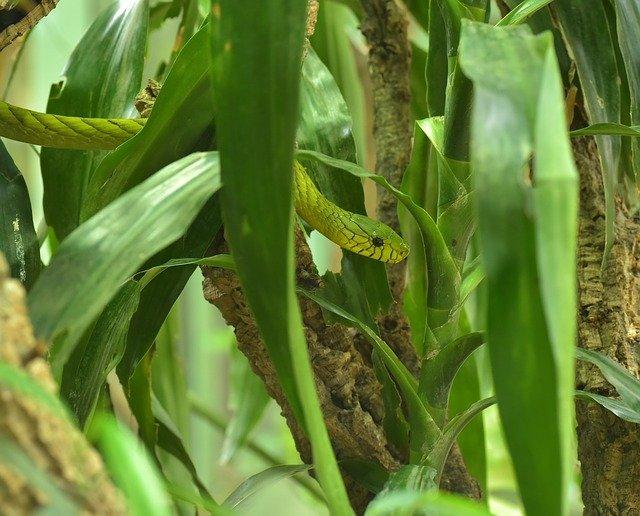 mamba zelená v listech