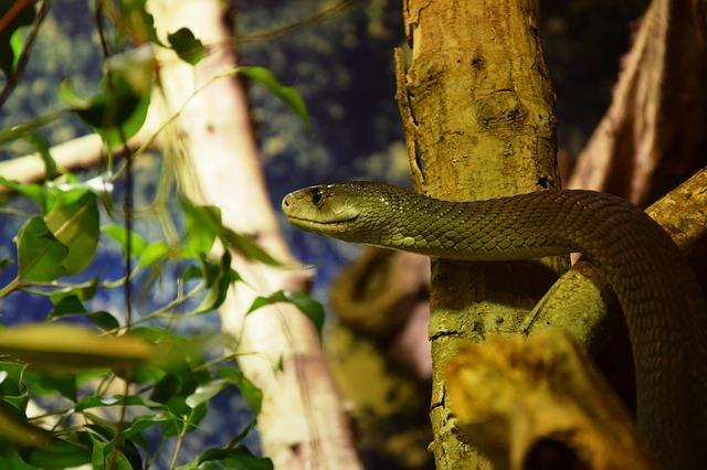 číhající had