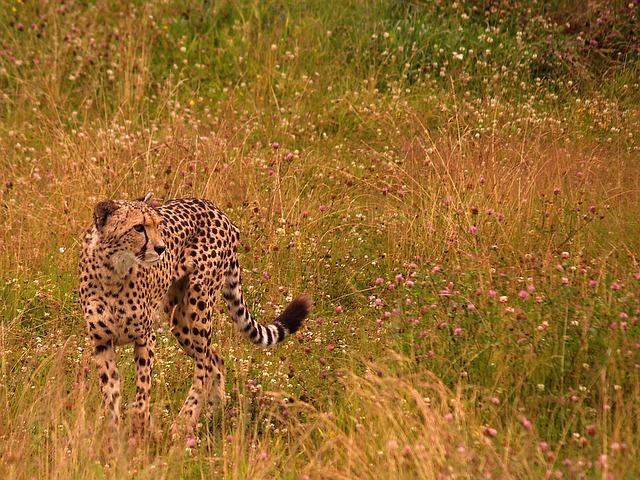 gepard na louce
