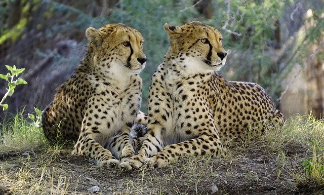 Gepardi štíhlí
