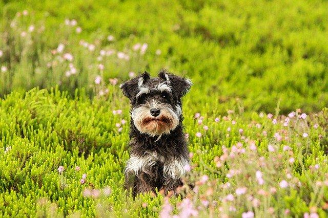 knírač v trávě