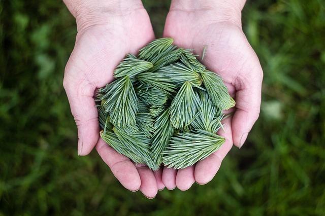 jehličí borovice v dlani.jpg