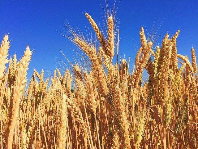 pšenice - lepek